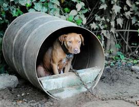 ht_rescued_pitbulls_01_jef_ss_130827_ssh