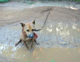ht_rescued_pitbulls_10_jef_ss_130827_ssh